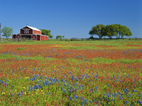 adam-jones-texas-paintbrush-flowers-and-red-barn-in-field-texas-hill-country-texas-usa